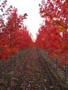 Rows of Red trees Royalty Free Stock Photo