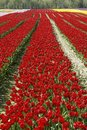 Rows Red Tulips Royalty Free Stock Photo
