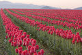 Rows Of Red Tulips Stock Image