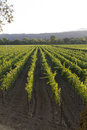 Rows and rows of grapevines in a vineyard Royalty Free Stock Photo