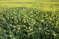 Rows and rows of mustard flowers Royalty Free Stock Images