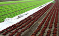 Rows of salad Royalty Free Stock Photos