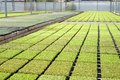 Rows of seedlings in a nursery Stock Photography