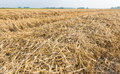 Rows of straw and stubble farmland with after harvesting the wheat Royalty Free Stock Images