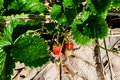 Rows of strawberries in a strawberry farm Royalty Free Stock Photo