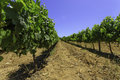 Rows of summer grapevines Royalty Free Stock Photo