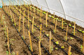 Rows of tomato and salad plants Royalty Free Stock Photo