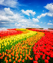 Rows of tulip flowers Royalty Free Stock Photo