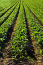 Rows of turnip plants in a field Stock Photos