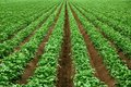Rows of vibrant green crop plants Royalty Free Stock Photo