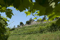 Rows of vine on the hillside Royalty Free Stock Photo