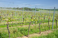 Rows of vine in vineyard summer view over the with plants Royalty Free Stock Images