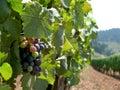 Rows of Vines Stock Photo