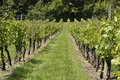 Rows of vines in English Vineyard Royalty Free Stock Photos