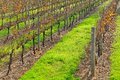 Rows of vines with grass in autumn Royalty Free Stock Photography