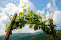 Rows of vines in the hills of Prosecco Royalty Free Stock Photo