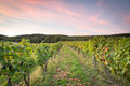 Rows of vines after sunset Royalty Free Stock Photo