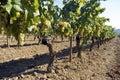 Rows of vines in vineyard Royalty Free Stock Photo