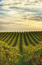 Rows of vines at vineyard in McLaren Vale, South Australia Royalty Free Stock Photo