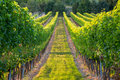 Rows of vines in warm light Royalty Free Stock Photo