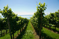 Rows in vineyard Royalty Free Stock Photo