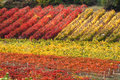 Rows of vineyard in autumn Royalty Free Stock Photo