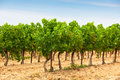 Rows of Vineyard Field in Southern France Royalty Free Stock Photo