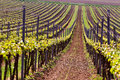Rows of Vineyard Grape Vines. Spring landscape with green vineya Royalty Free Stock Photo
