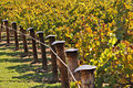 Rows of Winery Grape Vines in Autumn Colours Stock Photo