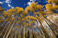 Rows of Yellow Aspens Stock Images