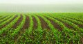 Rows of young corn plants Stock Image