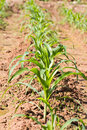 Rows of young corn plants on a moist field Stock Photo