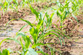 Rows of young corn plants on a moist field Royalty Free Stock Photos