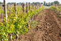 Rows of young grape vines growing. Grapes Vines being Planted. v Royalty Free Stock Photo