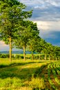 Rows of young green plants on a fertile field with dark soil in warm sunshine under dramatic sky Royalty Free Stock Photo
