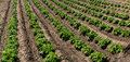 Rows of young potato plants on the field Royalty Free Stock Photo