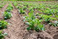 Rows of young potato plants Royalty Free Stock Photo