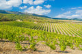 Rows of young vineyards in Crimean mountains Stock Photo