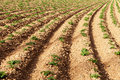 Rows of youngs potatoes in field personal perspective Stock Photos