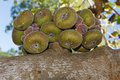 Roxburgh figs growing on their tree Stock Image