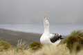 Royal albatross communicating in tussock grass Stock Photos
