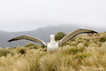 Royal albatross spreading wings in tussock grass Stock Images
