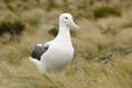 Royal albatross walking in tussock grass Royalty Free Stock Photography