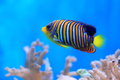 Royal angelfish Royalty Free Stock Photo