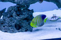 Royal angelfish a colorful in a oceanic aquarium Stock Photo