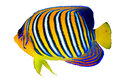 Royal angelfish pygoplites diacanthus isolated on white background Royalty Free Stock Photo