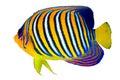 Royal angelfish Royalty Free Stock Photo