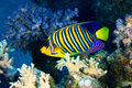 Royal angelfish pygoplites diacanthus in the red sea egypt Stock Photography