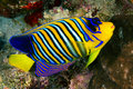 Royal angelfish pygoplites diacanthus in the red sea egypt Royalty Free Stock Photos