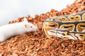 Royal or Ball python hunting for a white mouse Royalty Free Stock Photo